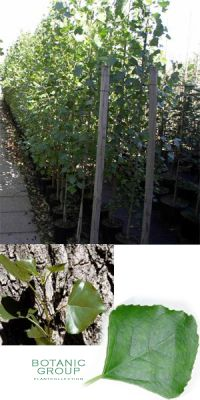 Populus nigra `Italica`- Säulen-Pappel, Schwarzpappel