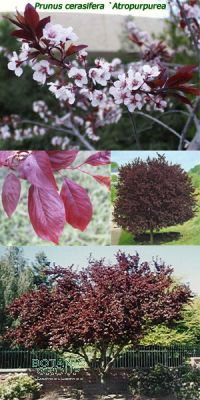 Prunus cerasifera - Purple Leaf Flowering Plum