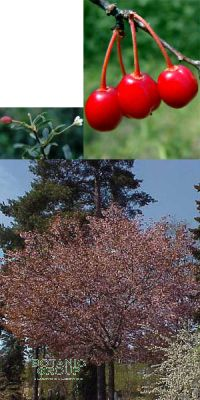 Prunus fruticosa `Globosa`- Kugel-Steppenkirsche