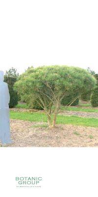 Pinus densiflora Umbraculifera - Japanische Strauchkiefer