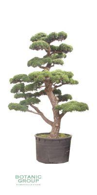 Pinus parviflora `Glauca`- Blaue Japanische Mädchenkiefer