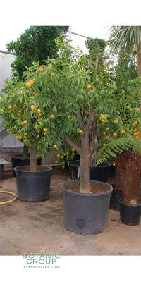 Citrus clementine