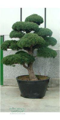 Pinus parviflora  - Mädchenkiefer, japanischer Gartenbonsai