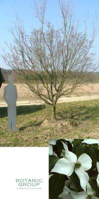 Cornus kousa - Japanischer Blütenhartriegel