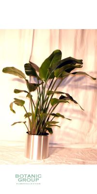 Indoor plant Strelizia nicolai -  in high-grade steel planter