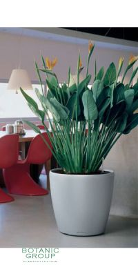 Strelitzia regineae in a plastic planter