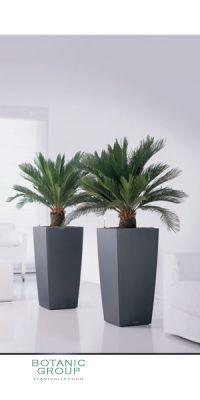Cycas revoluta in a plastic planter