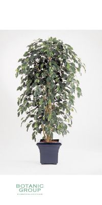 Kunstpflanze - Ficus Nitida exotica