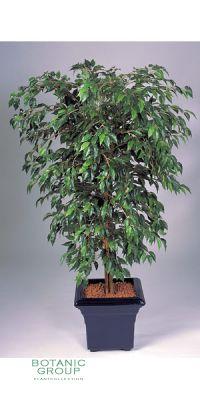 Kunstpflanze - Ficus hawaii