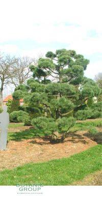 Pinus strobus Bonsai - Seiden-Kiefer, Weymouth-Kiefer