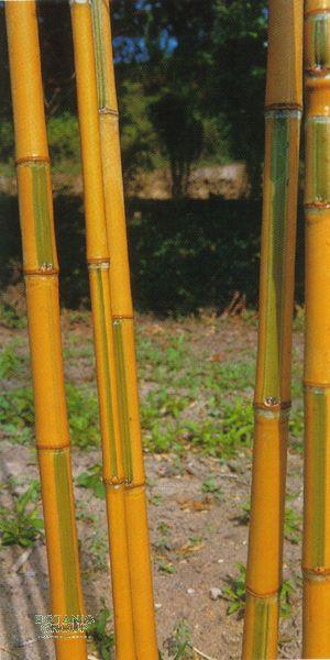 bambus phyllostachys aurea holochrysa. Black Bedroom Furniture Sets. Home Design Ideas