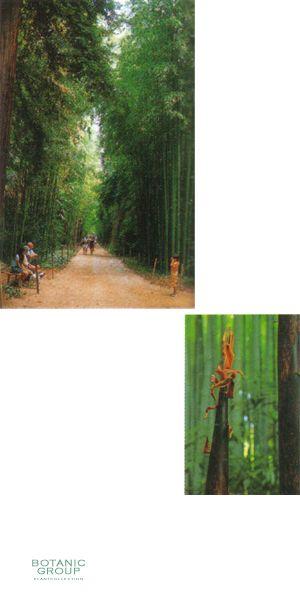 bambus phyllostachys bambusoides. Black Bedroom Furniture Sets. Home Design Ideas