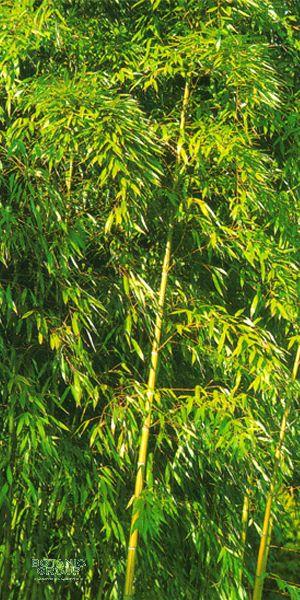 bambus phyllostachys viridiglaucescens. Black Bedroom Furniture Sets. Home Design Ideas