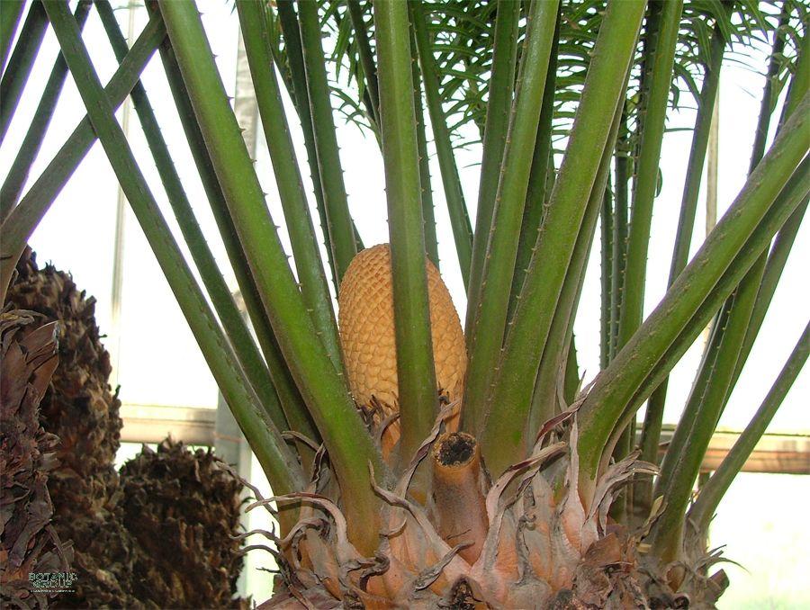 cycas revoluta sago cycad sago palm. Black Bedroom Furniture Sets. Home Design Ideas