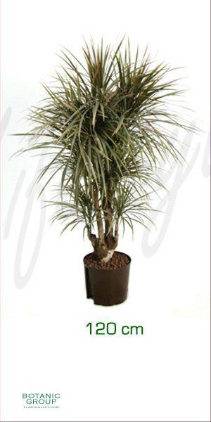 Dracaena bicolor drachenbaum verzweigt for Drachenbaum zimmerpflanze