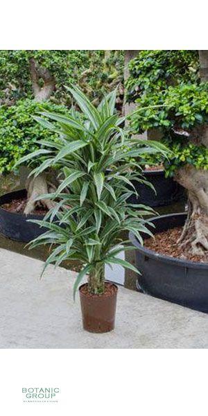 Dracaena deremensis drachenbaum verweigt zimmerpflanze - Zimmerpflanze robust pflegeleicht ...