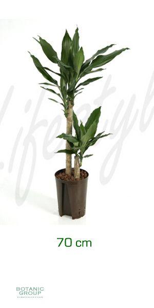 dracaena fragrans drachenbaum. Black Bedroom Furniture Sets. Home Design Ideas