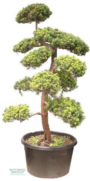 taxus cuspidata bonsai japanische eibe. Black Bedroom Furniture Sets. Home Design Ideas