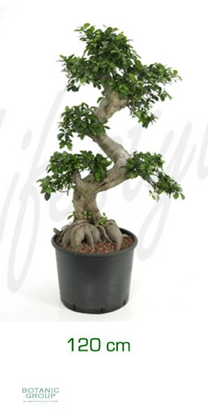 ficus microcarpa bonsai feigenbaum mit stammgeflecht. Black Bedroom Furniture Sets. Home Design Ideas