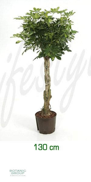 schefflera gold capella dwarf umbrella tree. Black Bedroom Furniture Sets. Home Design Ideas
