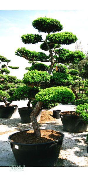 taxus cuspidata bonsai japanischer gartenbonsai. Black Bedroom Furniture Sets. Home Design Ideas