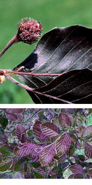 fagus sylvatica 39 purpurea 39 blutbuche heckenpflanze. Black Bedroom Furniture Sets. Home Design Ideas
