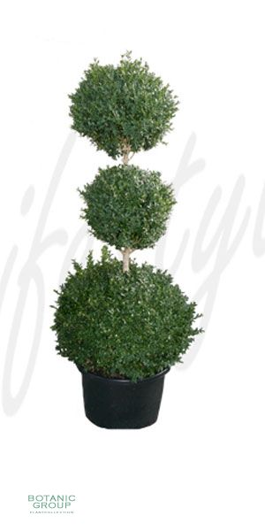 buxus sempervirens 39 rotundifolia 39 kegel schnitt. Black Bedroom Furniture Sets. Home Design Ideas