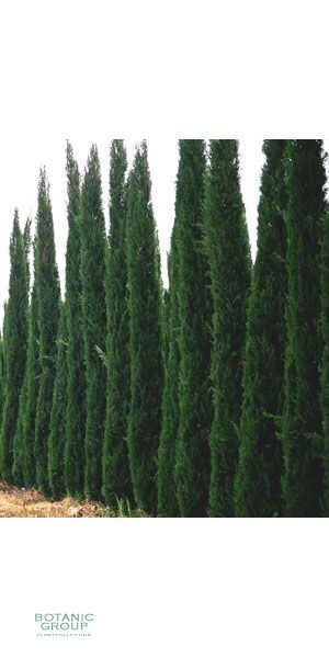 cupressus sempervirens pyramidalis italienische zypresse xxl. Black Bedroom Furniture Sets. Home Design Ideas