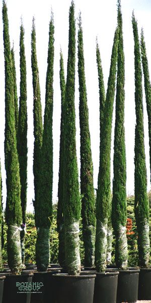 cupressus sempervirens pyramidalis italienische zypresse. Black Bedroom Furniture Sets. Home Design Ideas