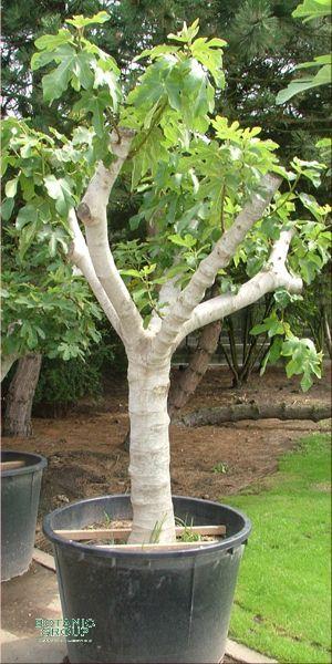 feigenbaum ficus carica echte feige k belpflanze xxl. Black Bedroom Furniture Sets. Home Design Ideas