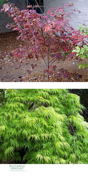 acer japonicum aconitifolium eisenhutbl ttriger japan ahorn. Black Bedroom Furniture Sets. Home Design Ideas