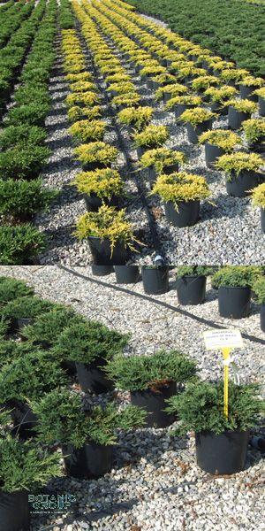 juniperus wacholder verschiedene sorten. Black Bedroom Furniture Sets. Home Design Ideas