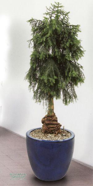 zimmerpflanze araucaria cunninghamii bonsai im exklusiven. Black Bedroom Furniture Sets. Home Design Ideas
