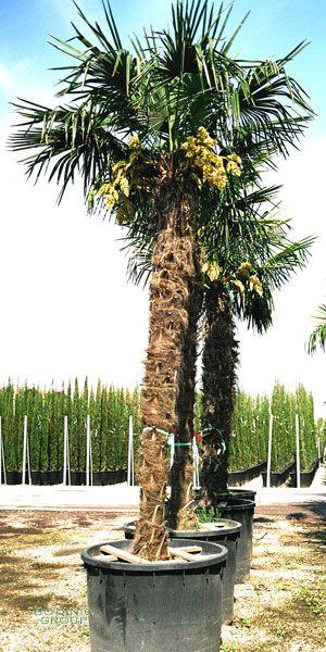 trachycarpus fortunei chinese windmill palm xl. Black Bedroom Furniture Sets. Home Design Ideas