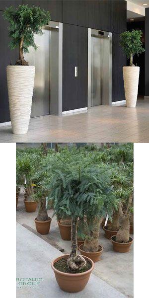 araucaria cunninghamii bonsai im exklusiven pflanzgef. Black Bedroom Furniture Sets. Home Design Ideas