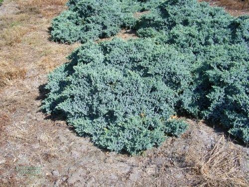Juniperus juniper - Juniperus squamata blue carpet ...