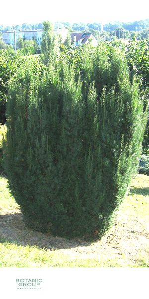 taxus baccata gemeine eibe europ ische eibe heckenpflanze. Black Bedroom Furniture Sets. Home Design Ideas