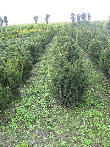 taxus cuspidata japanische eibe 10 heckenpflanzen. Black Bedroom Furniture Sets. Home Design Ideas