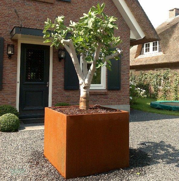feigenbaum im cortenstahl pflanzgef xxl k belpflanze. Black Bedroom Furniture Sets. Home Design Ideas
