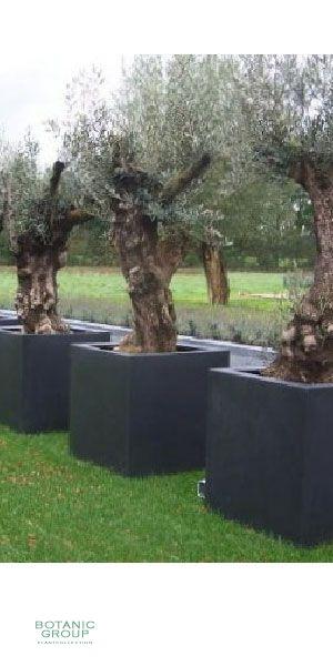 planter une olive