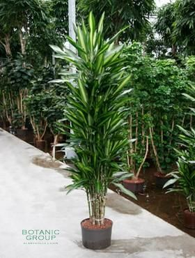 Dracena cintho dracaene verzweigt zimmerpflanze for Drachenbaum zimmerpflanze