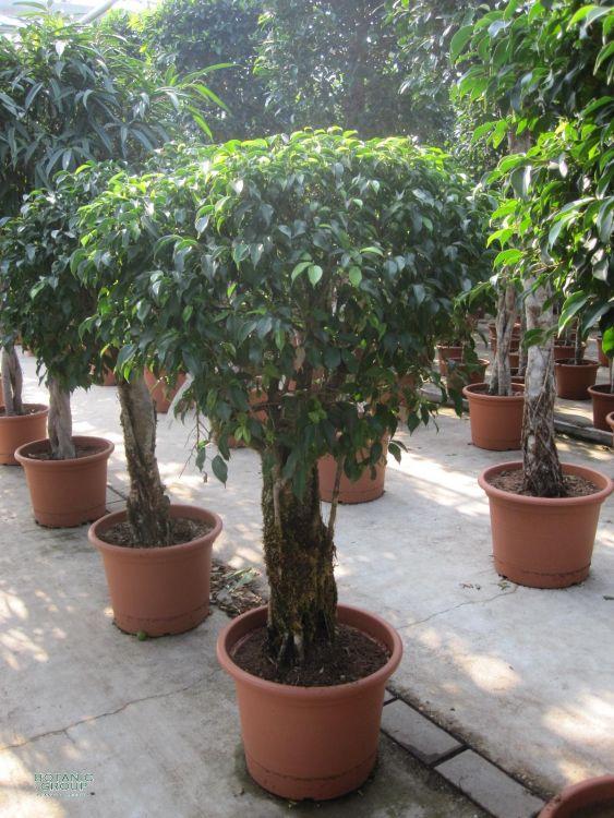 ficus benjamina 39 columnar 39 zimmerpflanze ficus 39. Black Bedroom Furniture Sets. Home Design Ideas