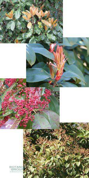 Photinia serrulata red robin - Photinia serrulata red robin ...