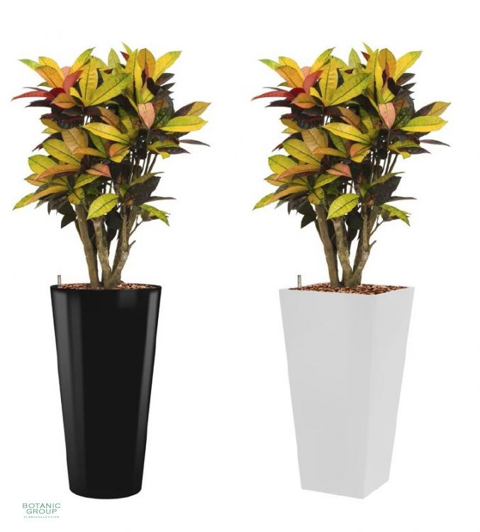 Croton codiaeum ic im pflanzgef b robegr nung - Zimmerpflanze sonnig ...