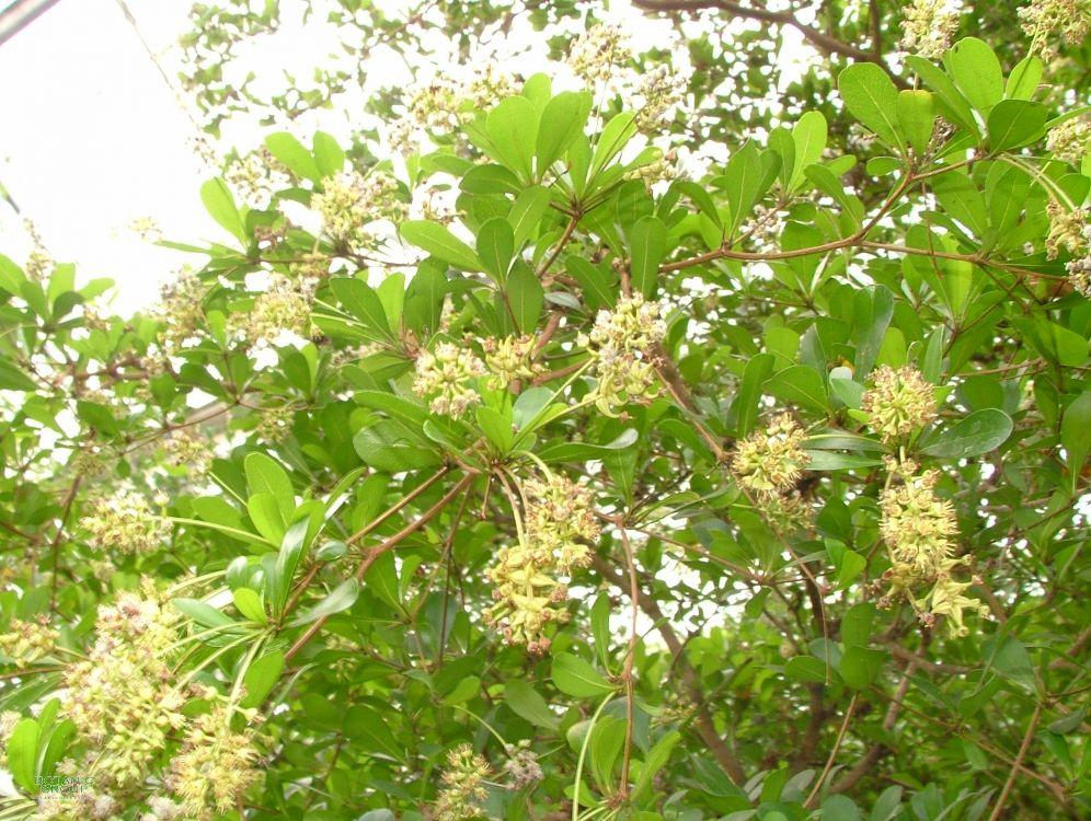 Bucida buceras black olive gro baum for Innenraum pflanzen