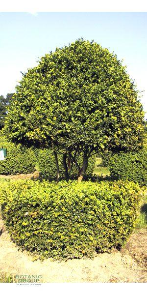 buxus sempervirens arborescens buxusbaum. Black Bedroom Furniture Sets. Home Design Ideas