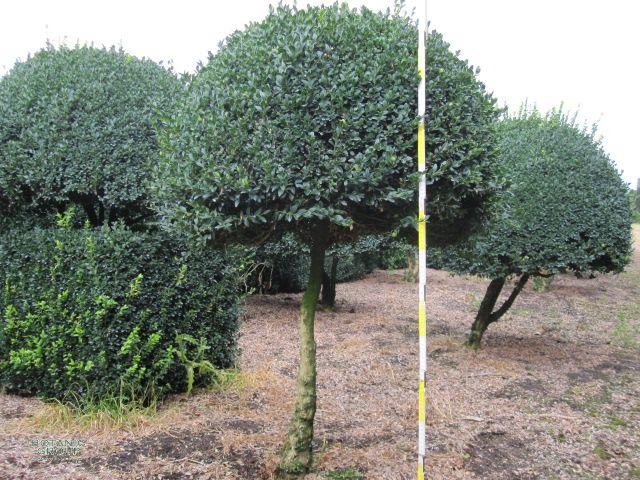 buxus sempervirens arborescens buchsbaum kugel auf stamm. Black Bedroom Furniture Sets. Home Design Ideas