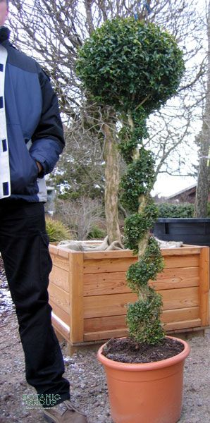 buxus sempervirens arborescens buxusb umchen. Black Bedroom Furniture Sets. Home Design Ideas