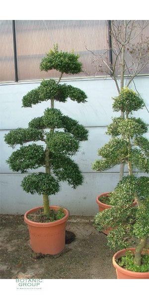 ilex crenata bonsai garden bonsai. Black Bedroom Furniture Sets. Home Design Ideas