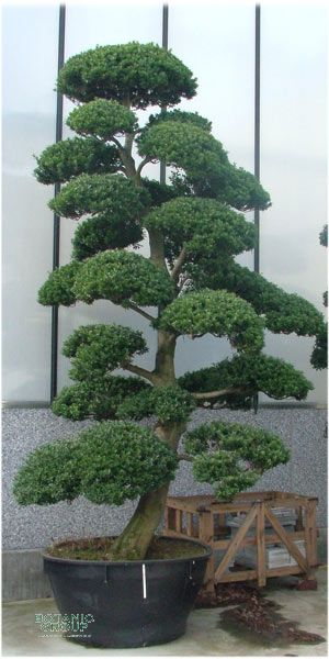 ilex crenata bonsai japanische stechpalme. Black Bedroom Furniture Sets. Home Design Ideas